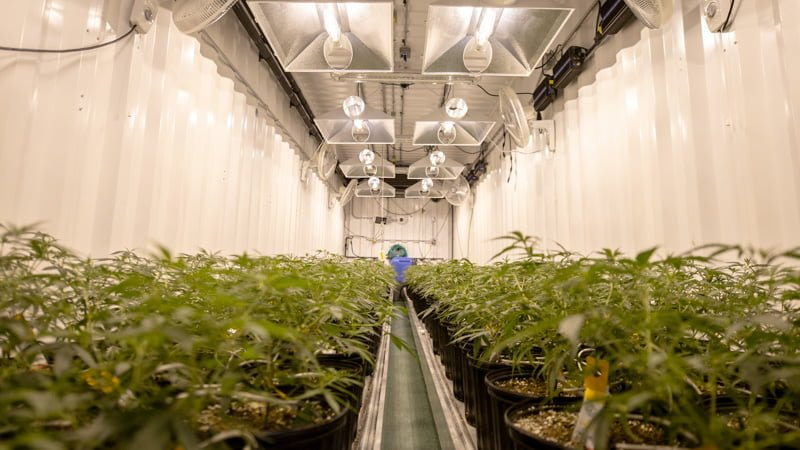 Hemp Plants Inside the Ventilated House