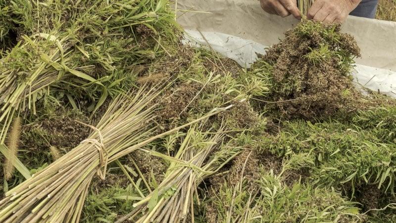 Hemp Harvest from Farming