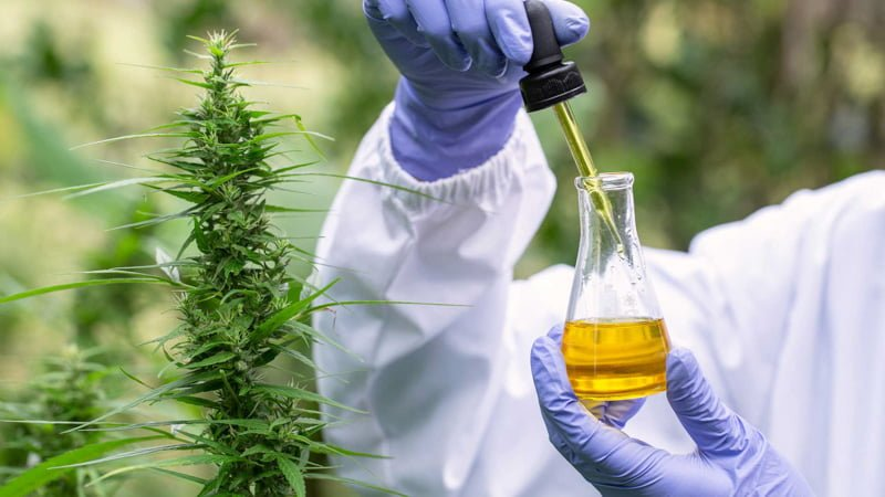 The hands of scientist dropping hemp oil for experimentation