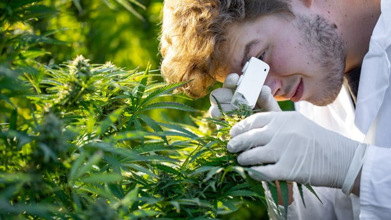 Researcher Checking on the Hemp Plants in the Field