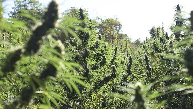 plantation of cannabis plants