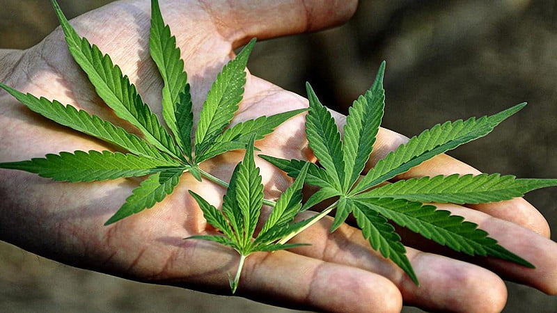 close up image of a man's hand holding hemp leaves