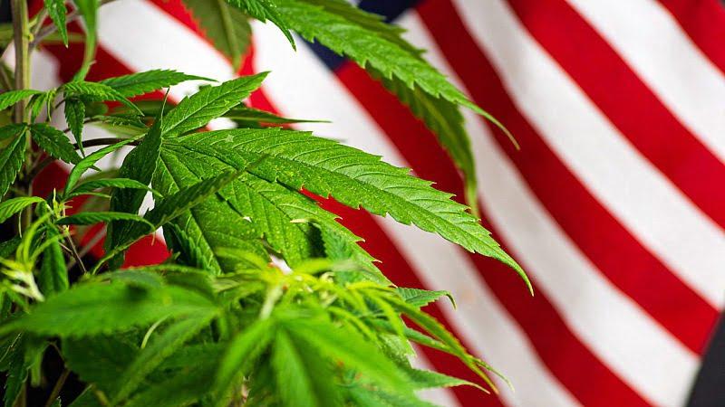 hemp plants with US flag background