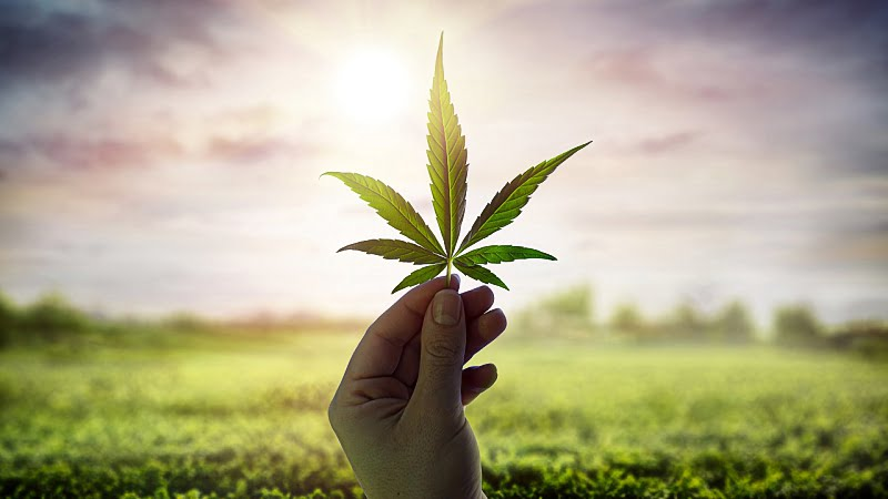 hand showing hemp leaf against sky with sunlight