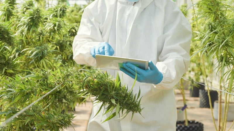 Researcher Checking a Paper inside the Hemp Green House